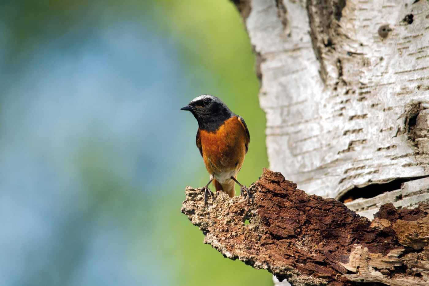 Redstart Phoenicurus phoenicurus, male standing on old piece of bark on silverbirch tree