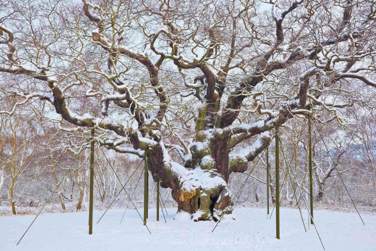 The Major Oak in Winter